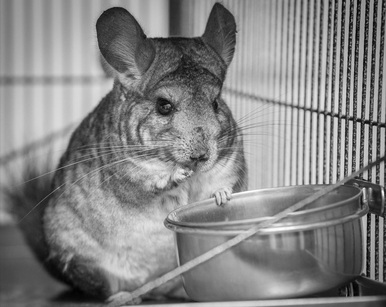 Chinchilla care - photo#23